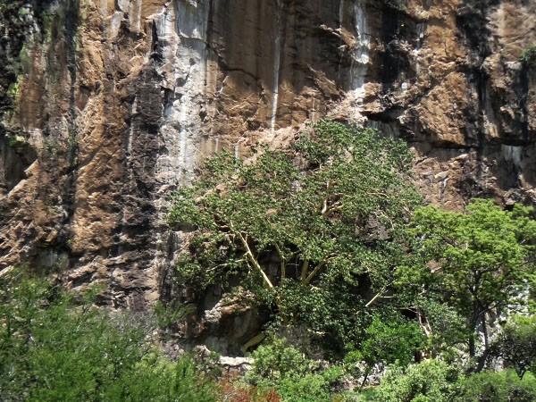 ärbol de Amate amarillo en la falda del Cerro Chalcatzingo, Estado de Morelos, Senderismo México en fotos
