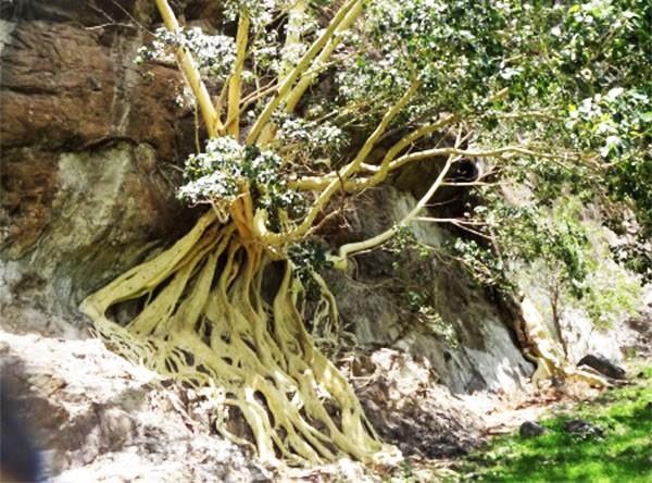 erro Chalcatzingo y ärbol de amate amarillo con sus grandes raíces adheridas  a las rocas. Municipio Jantetelco, Estado de Morelos. Senderismo México en fotos